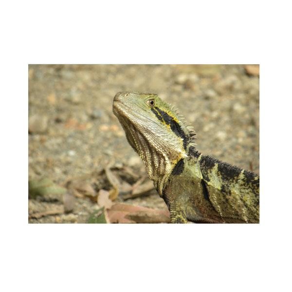 QFIQ.Iguana